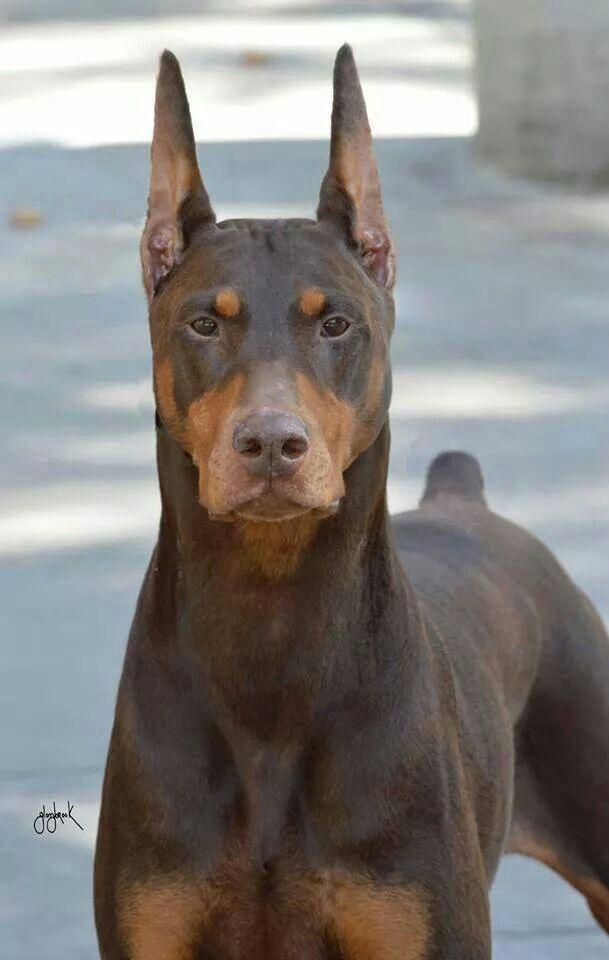 Big Red Doberman Doberman Dogs Doberman Pinscher Doberman