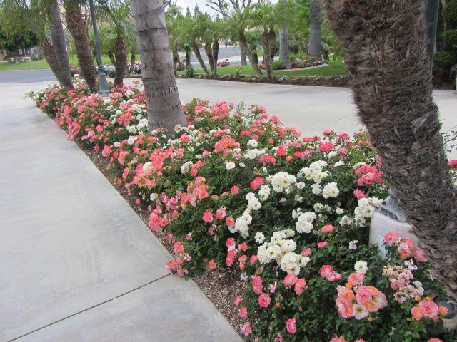 Pin By Star Roses And Plants On Drift Groundcover Roses Easy Garden Garden Vines Garden Shrubs
