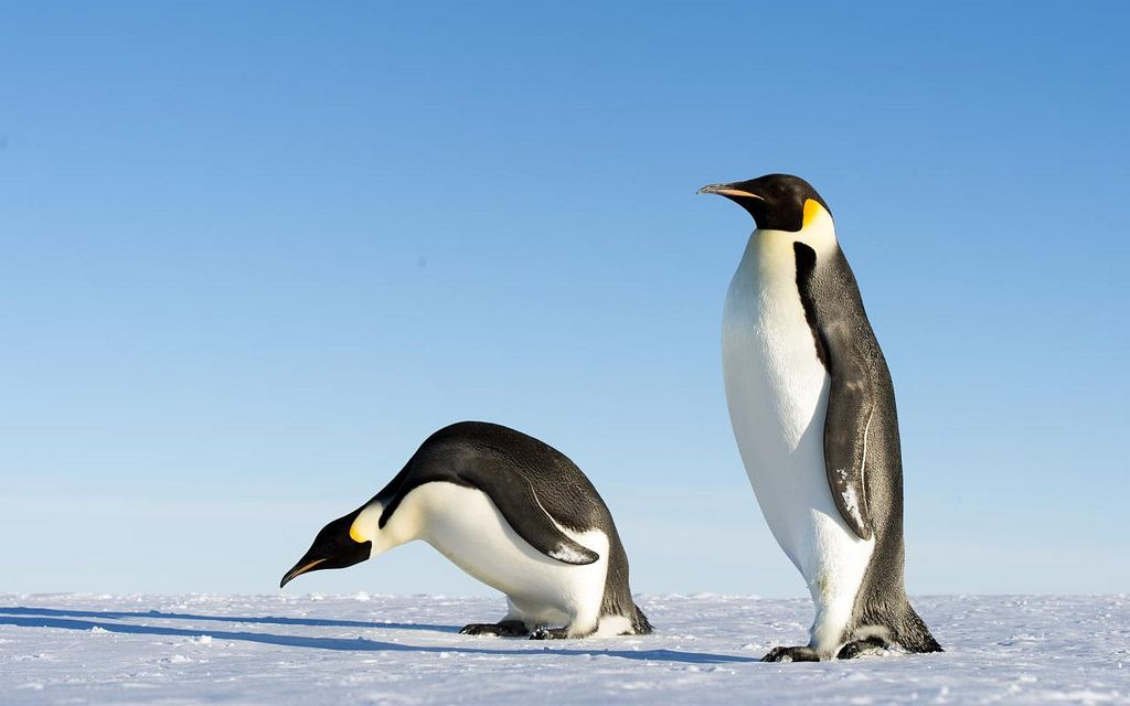 15 Amazing Animals That Start With The Letter E Penguin Species Penguins Emperor Penguin