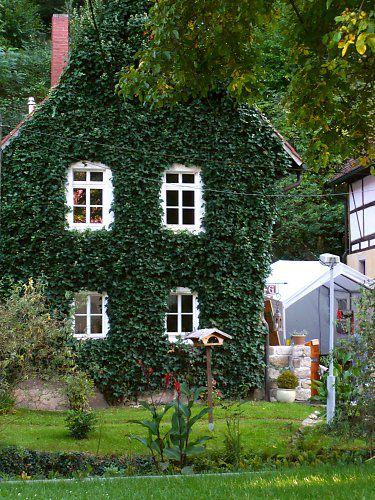 Immergrüne Kletterpflanze efeu wird als immergrüne kletterpflanze vor allem für