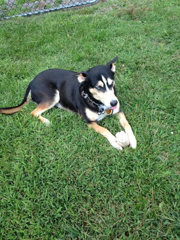 Siberian Husky Dog For Adoption In Newfield Nj Adn 731251 On