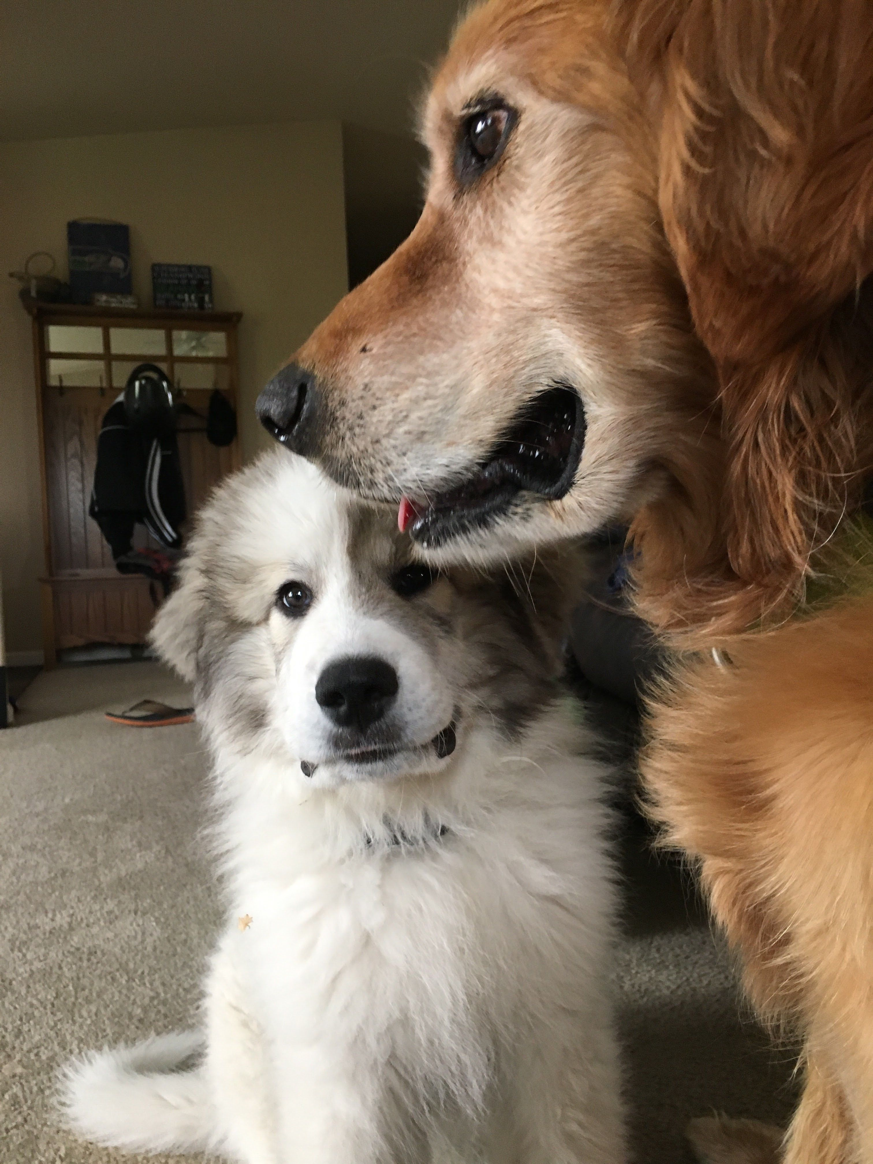 Choosing The Perfect Puppy For The Family Great Pyrenees Dog Blog