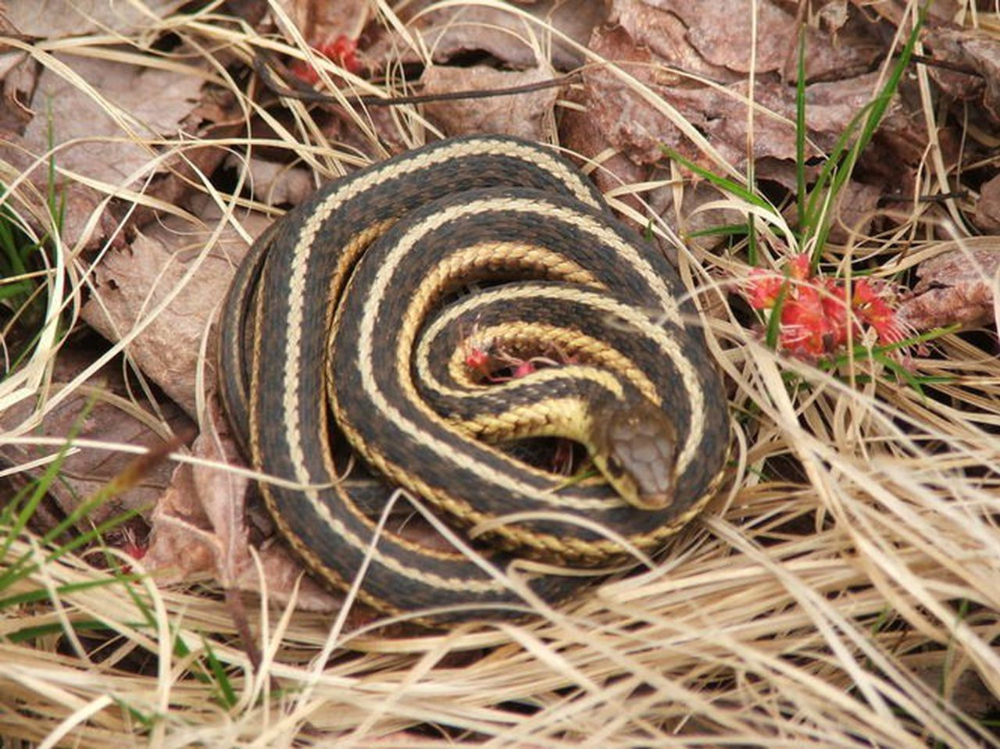 The 17 Snakes You Might Meet In Michigan In 2020 Garden Snakes Snake Reptiles