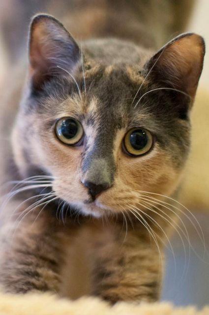 Beautiful Gray Smokey Calico Cat Pets Beautiful Cats Cute Cats