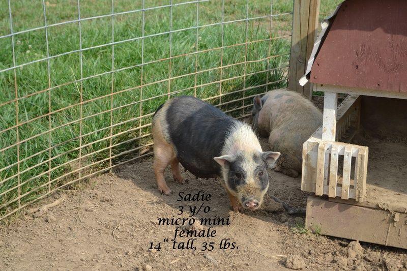Adult Juliana Pig