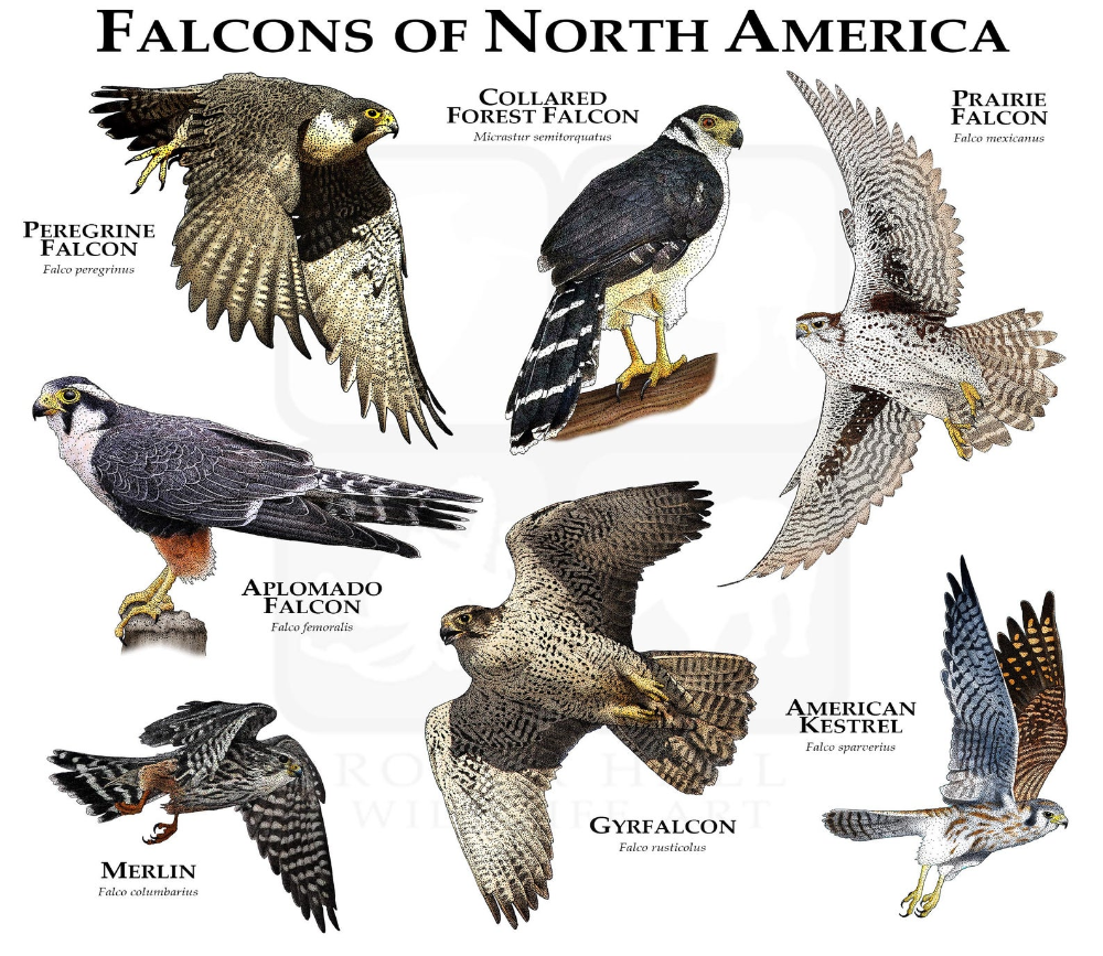 Falcons Of The United States Poster Print Etsy In 2020 Poster Prints American Kestrel Zoo Photos
