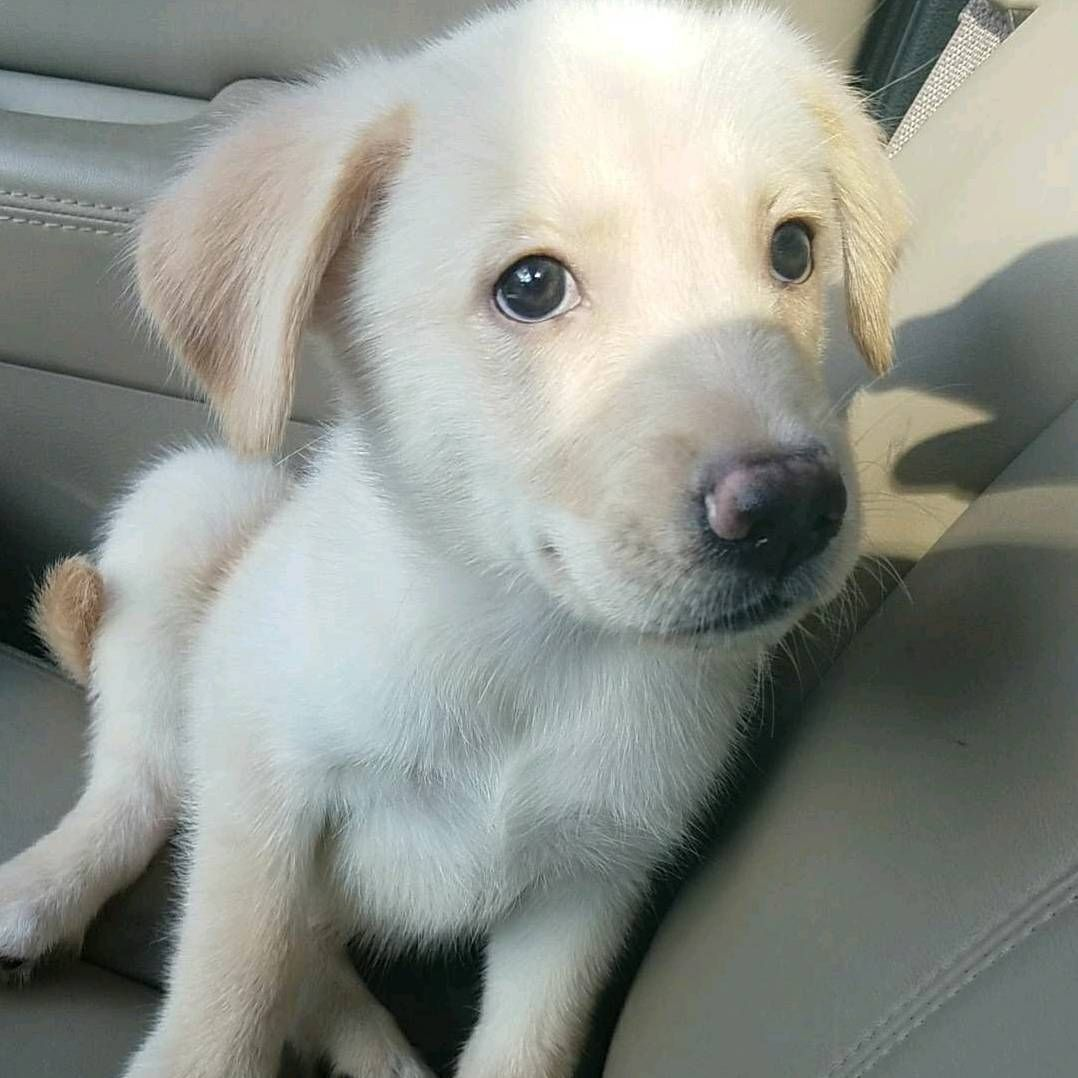 Goberian Golden Retriever Siberian Husky Cross With Images