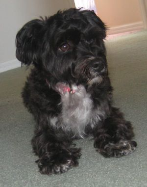 Cupcake The Silkypoo Aka Poolky Silky Terrier Poodle Mix