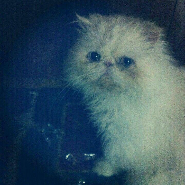 Persa gato, navidad 2012