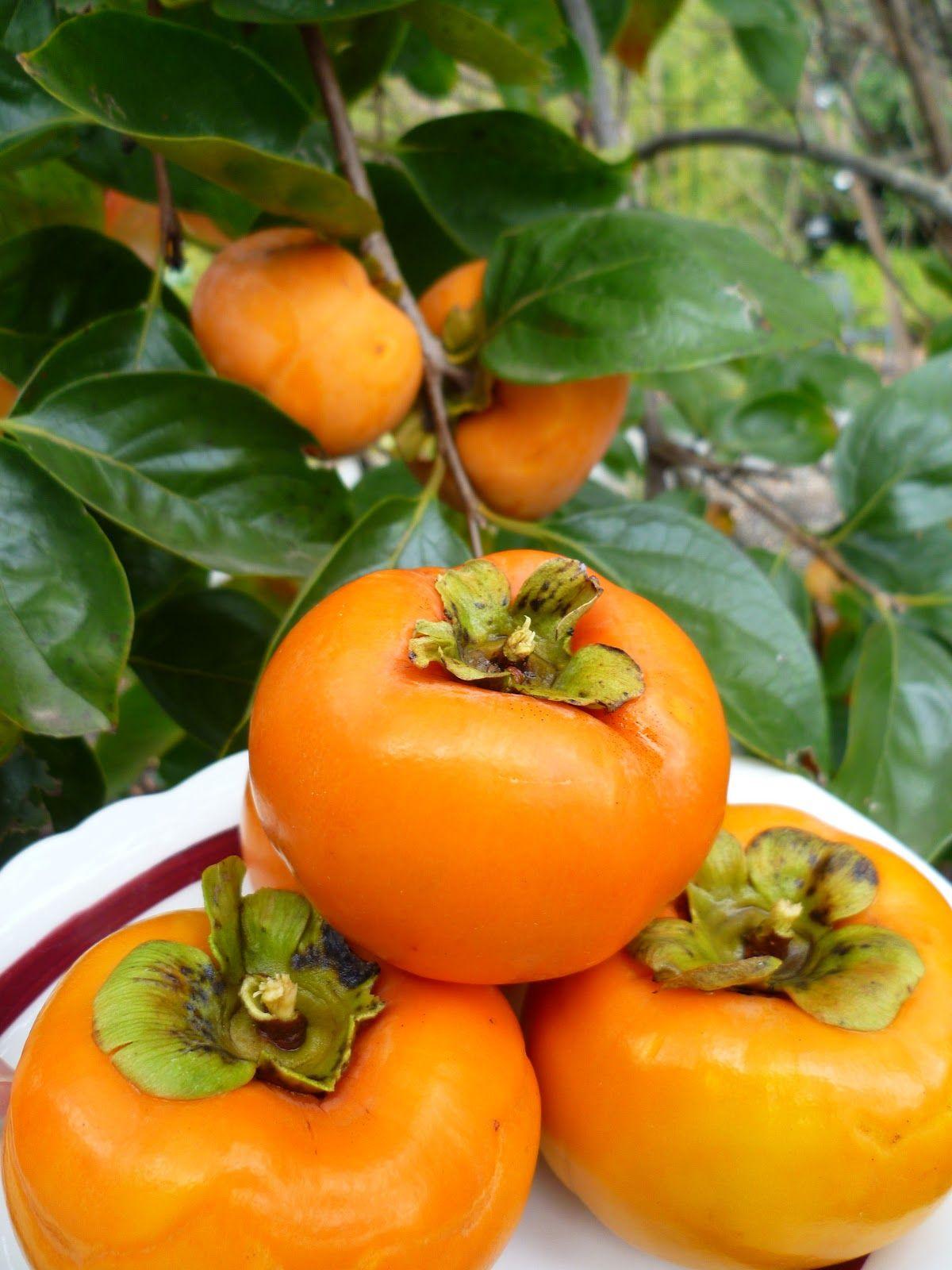 how to grow fuyu persimmon tree
