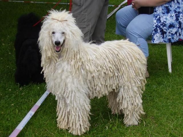 dreadlock poodle - Google Search | I LOVE my POODLE ...