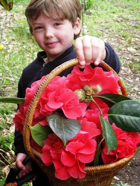The camellia hunter in action. Camellia Song - The Garden Times