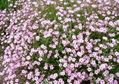 pink baby's breath!