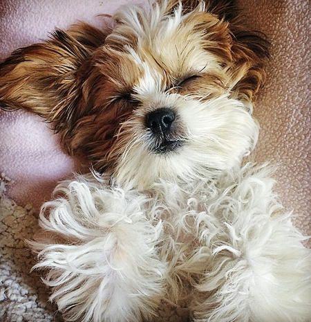 Maltese Mix Puppy Puppy Adopt A Puppy Buy A Puppy Puppy Training