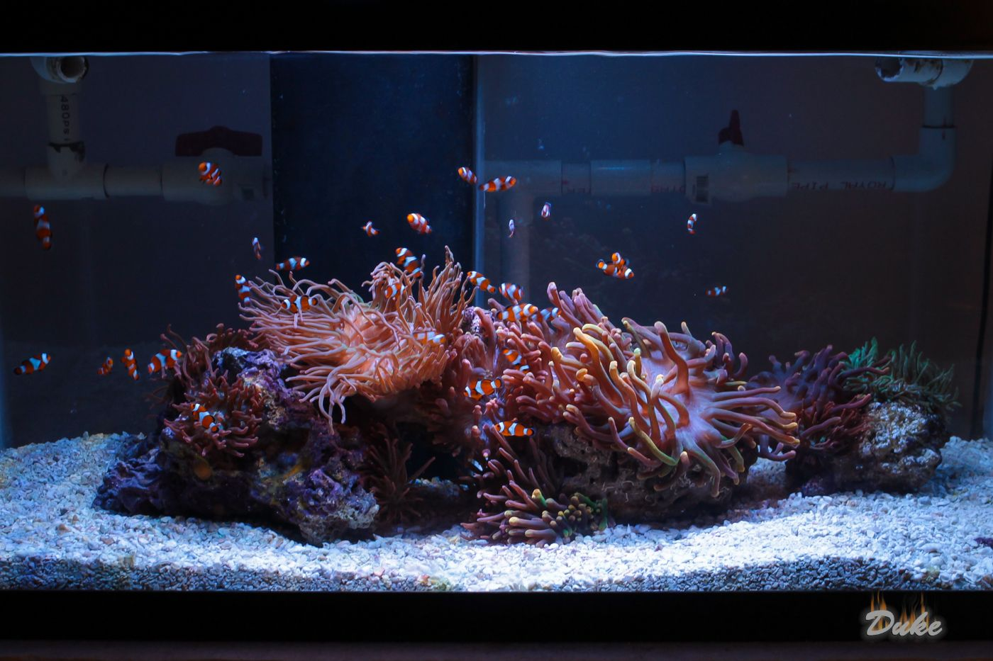 Clownfish And Anemone Only Tank Reef Central Online Community My Salt Water Aquarium