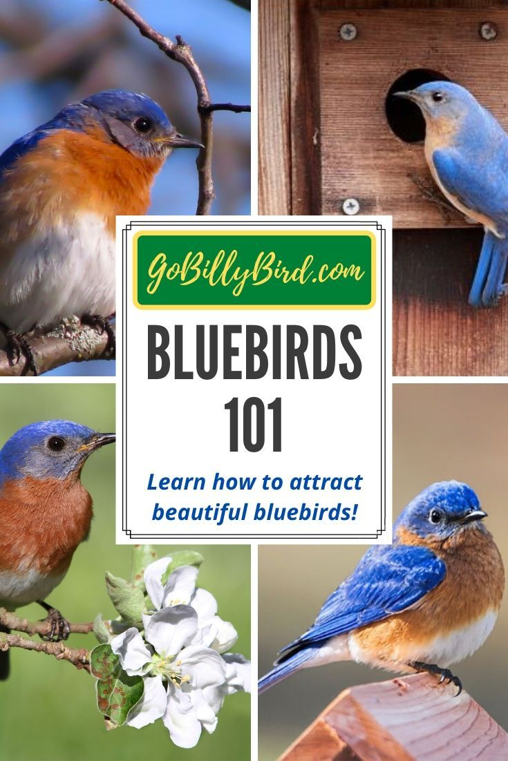 Learn how to attract beautiful bluebirds!