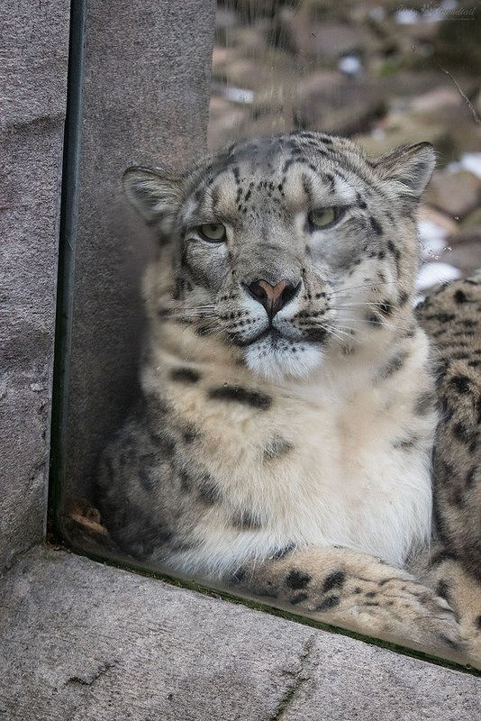 Julika pushing her nose to the window   da Cloudtail the Snow Leopard