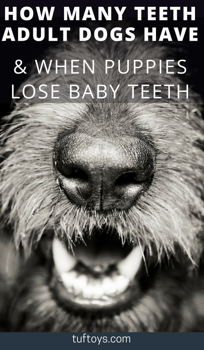 How Many Teeth Do Adult Dogs Have & When Do Puppies Lose