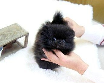 Teacup Pomeranian Puppies Sale | Smore Newsletters for Business #teacuppomeranianpuppy Teacup Pomeranian Puppies Sale | Smore Newsletters for Business #teacuppomeranianpuppy Teacup Pomeranian Puppies Sale | Smore Newsletters for Business #teacuppomeranianpuppy Teacup Pomeranian Puppies Sale | Smore Newsletters for Business #teacuppomeranianpuppy Teacup Pomeranian Puppies Sale | Smore Newsletters for Business #teacuppomeranianpuppy Teacup Pomeranian Puppies Sale | Smore Newsletters for Business # #teacuppomeranianpuppy