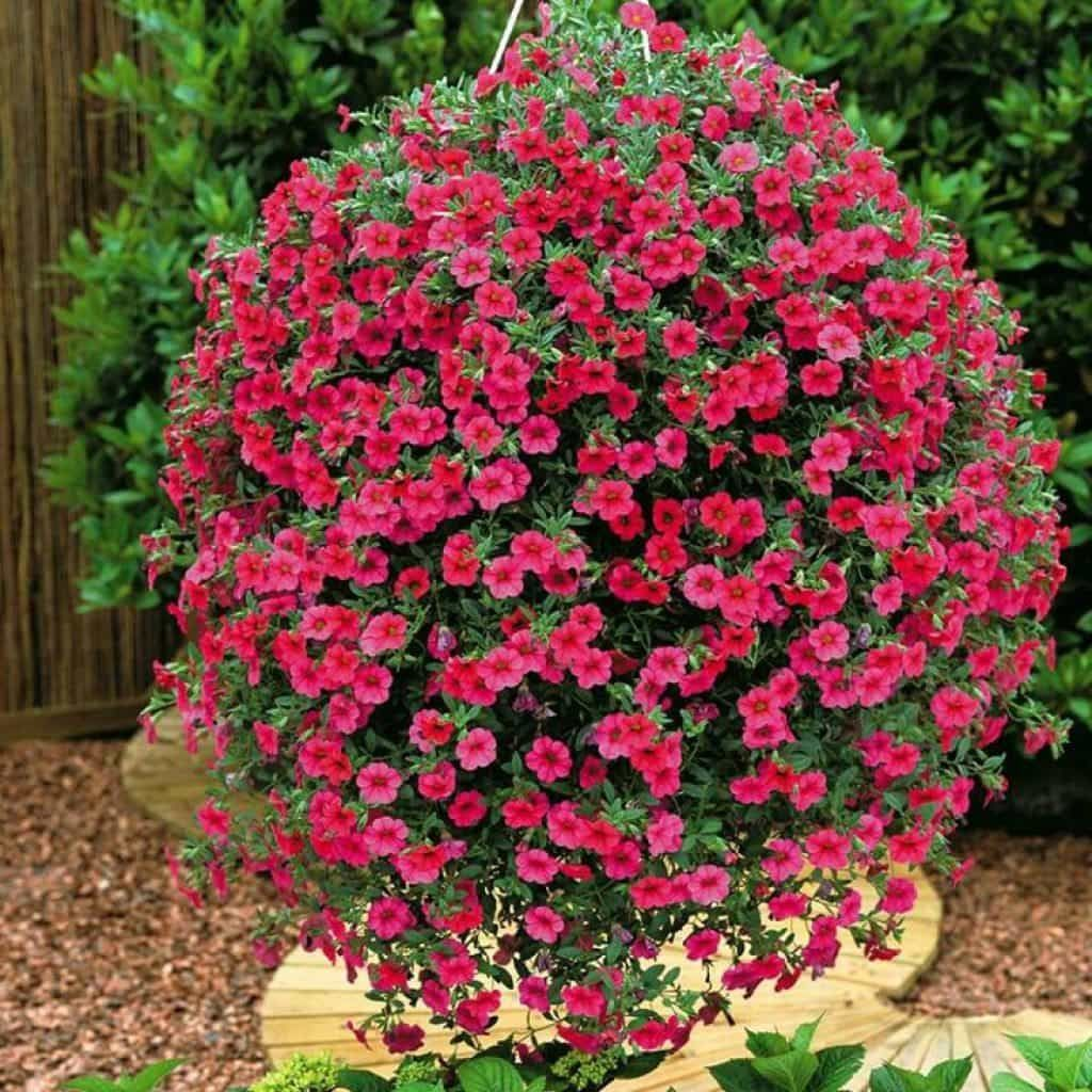 Outdoor Full Sun Hanging Plants Plants For Hanging Baskets Hanging Plants Outdoor Plants
