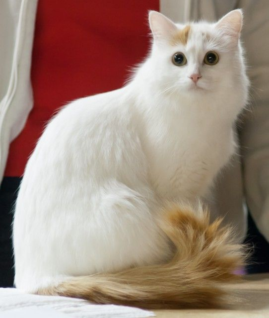 Turkish van cat breeders usa
