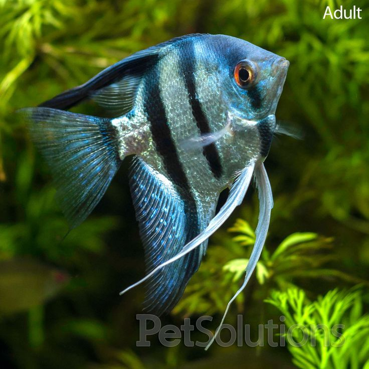 18 different types of angelfish to consider for your Types of fish aquarium