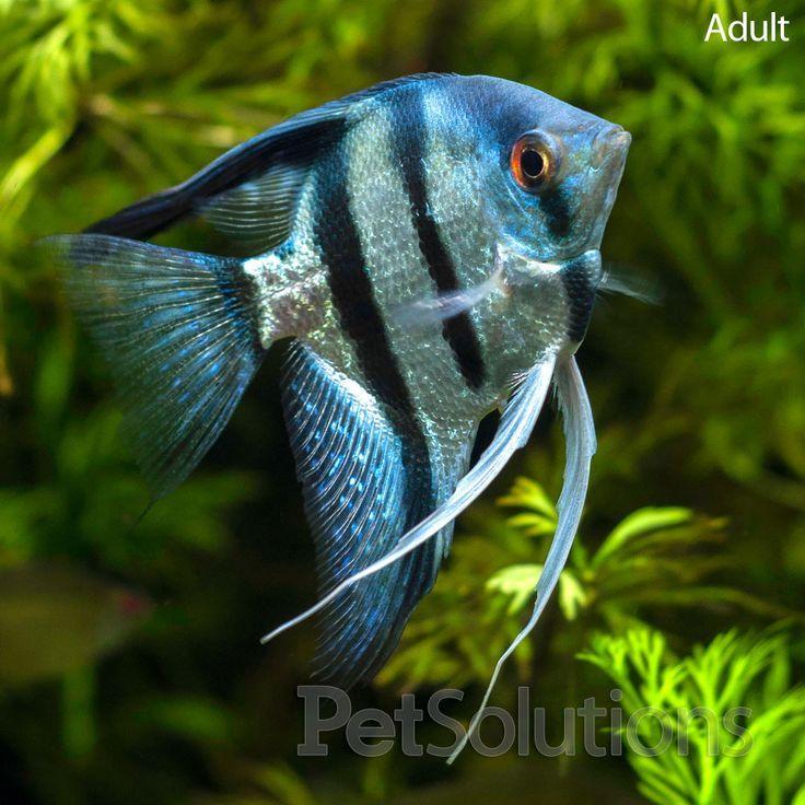 Эти рыбы могут стать нападать на скалярий и наносить им тяжелые травмы.