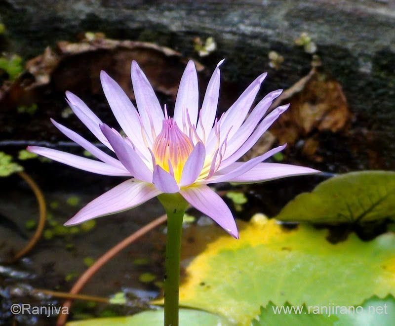 Des Nénuphars et des Lotus   Paysages et Fleurs au fil de l'eau