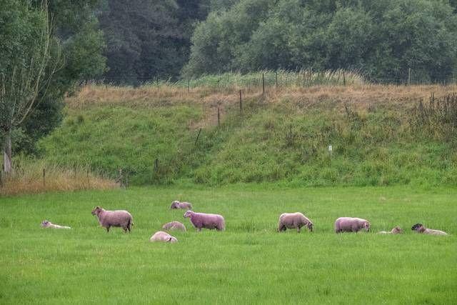 OOK SCHAPEN ONTSNAPPEN NIET AAN PAARSE VERF   enkele schapen moesten eraan geloven. Gelukkig verdwijnt de onschadelijke verf na drie weken.-Klaas De Scheirder