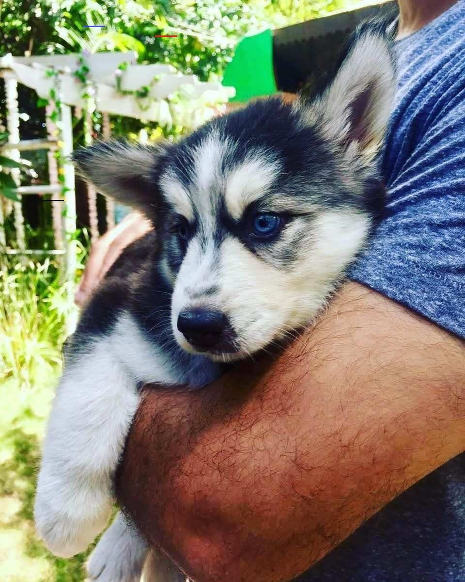 Miniaturehusky In 2020 Miniature Husky Husky Husky Puppies For Sale