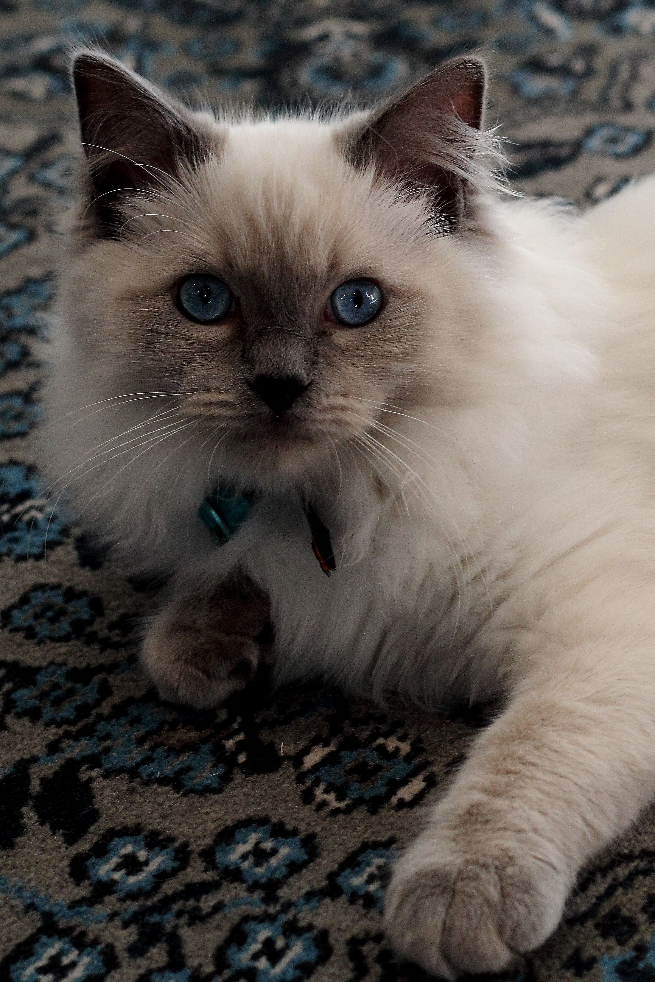 Blue Eyed Cats Pretty Cats Cats Crazy Cats