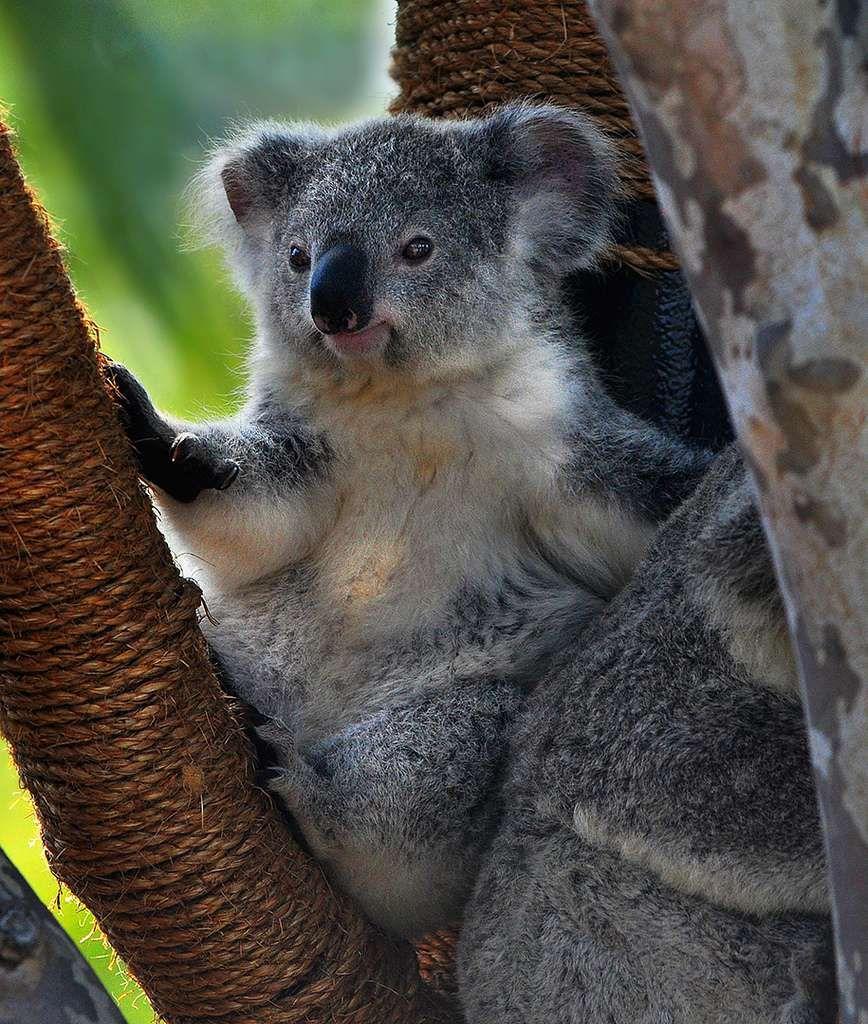 le koala le plus mignon des animaux d 39 australie animaux d 39 australie pinterest animaux. Black Bedroom Furniture Sets. Home Design Ideas