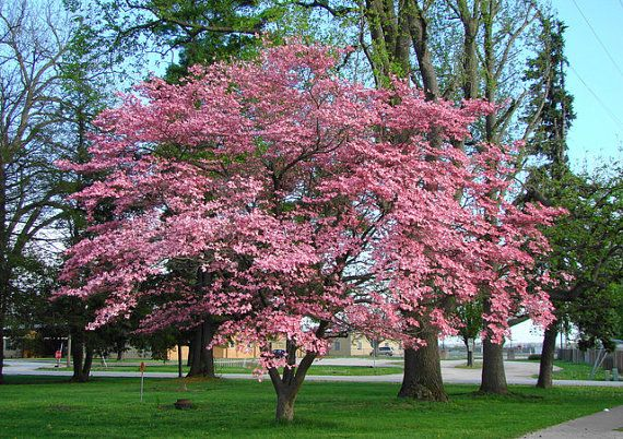1000 Flowering Dogwood Tree Seeds The Flowering Dogwood Can Reach Heights Between 20 And 40 Feet Beautiful Fast Growing Shade Trees Shade Trees Dogwood Trees
