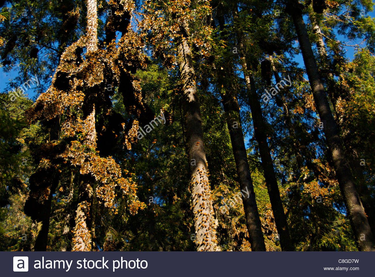Image Result For Oyamel Fir Trees