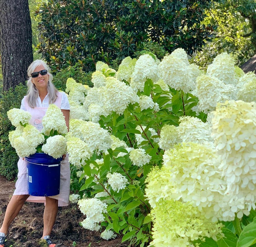It S That Time Of Year Again When We Benefit From All Our Limelight Hydrangea Blooms These Fu Hydrangea Not Blooming Limelight Hydrangea Hydrangea Landscaping