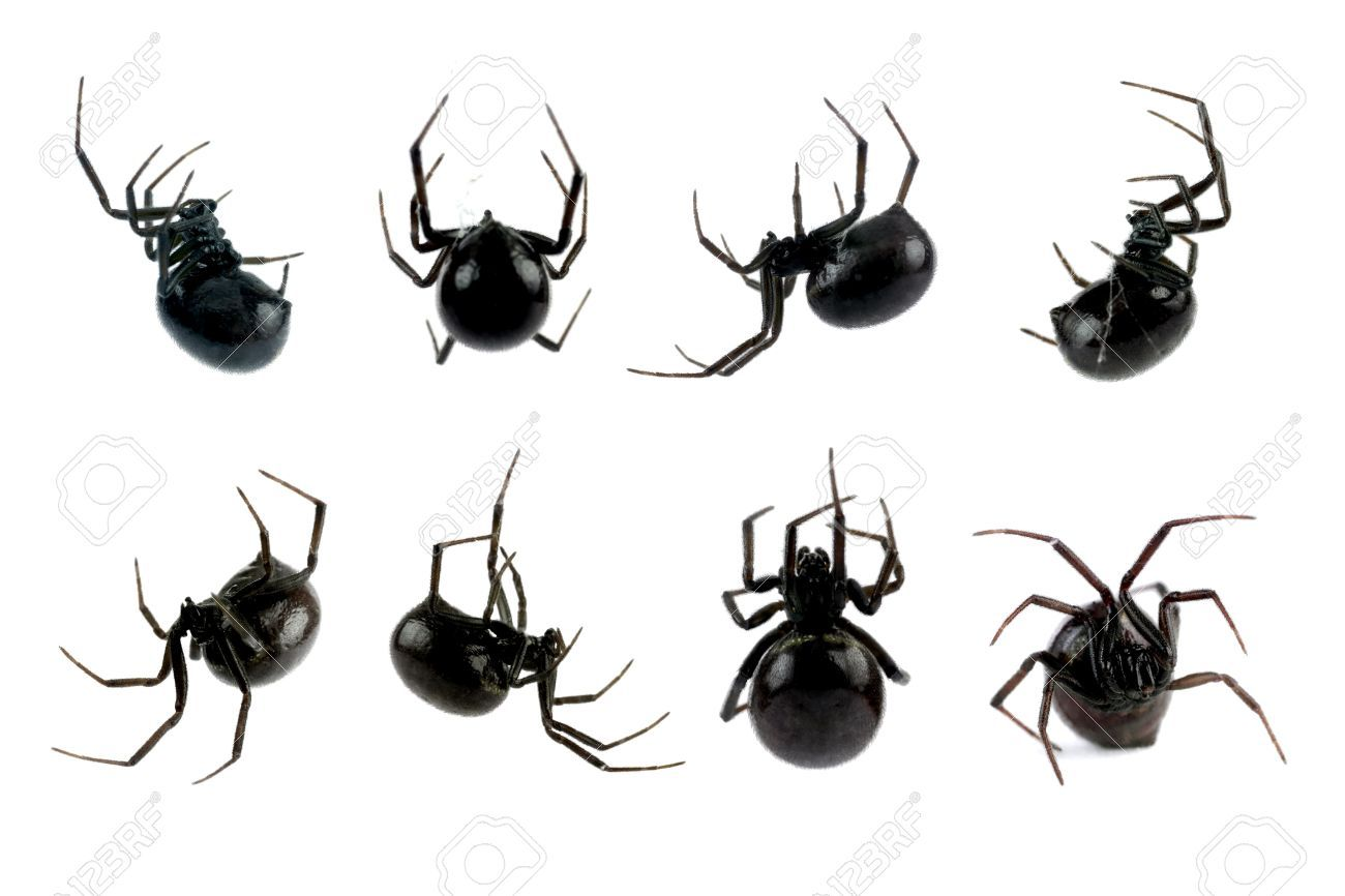 10368210-Spider-Black-Widow-Lacrodectus-Hasselti-female-various ...