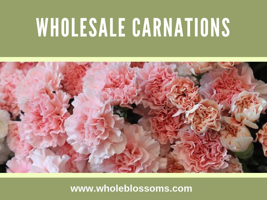 Carnation Flower Is The Best Choice For Any Event Or Wedding They Come In Different Colors Like White Carnations Carnation Flower Carnations Flowers For Sale