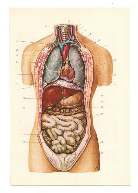 Resultado De Imagen Para Female Anatomy Antique Illustrations
