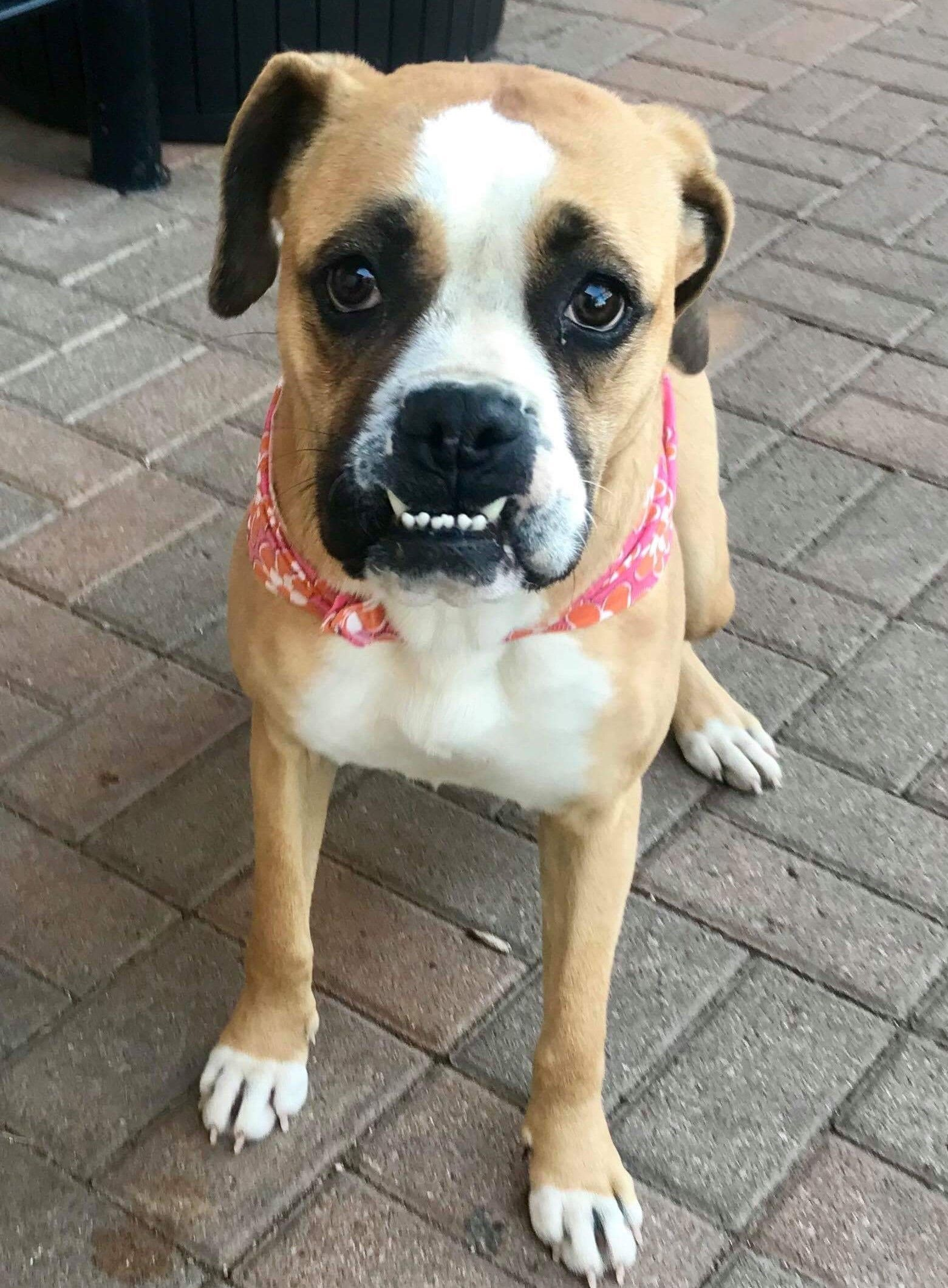 Boxer Dog For Adoption In Woodbury Mn Adn 784239 On Puppyfinder Com Gender Female Age Adult Boxer Dogs