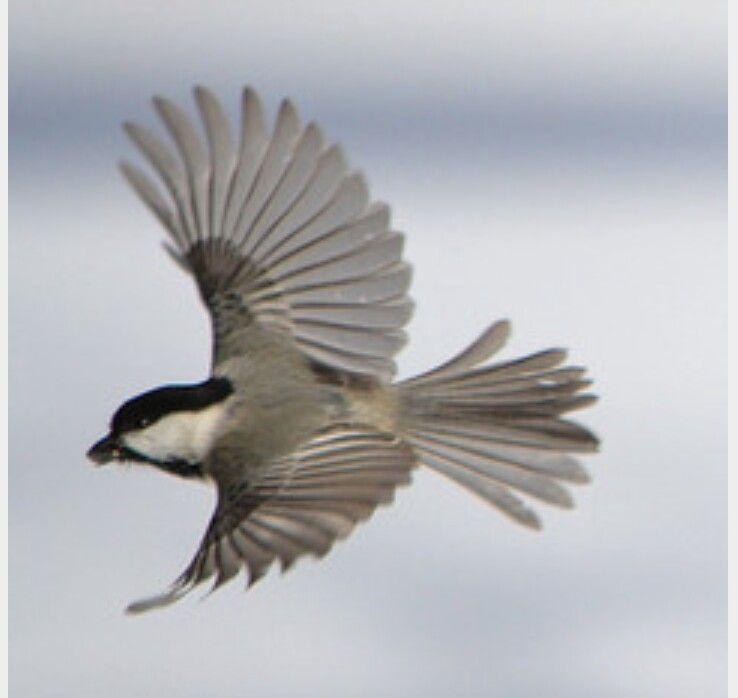 Next tattoo   Chickadee, Bamboo fly rod, Birds in flight - photo#20