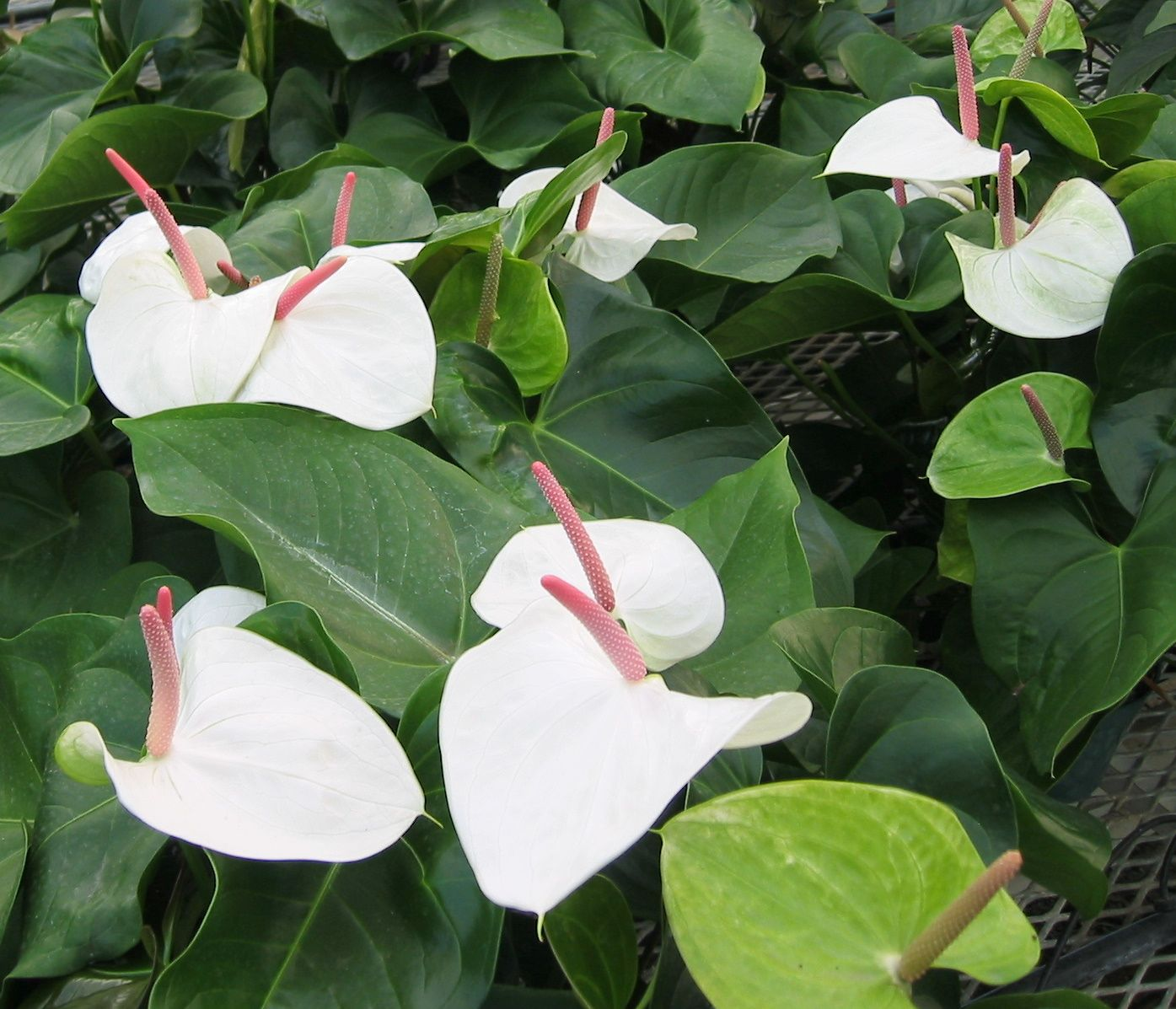 Anthurium White Heart Was Voted The Favorite New Flowering Plant At The 2005 Tpie Trade Show White Heart Is A Break Anthurium Plants Planting Flowers