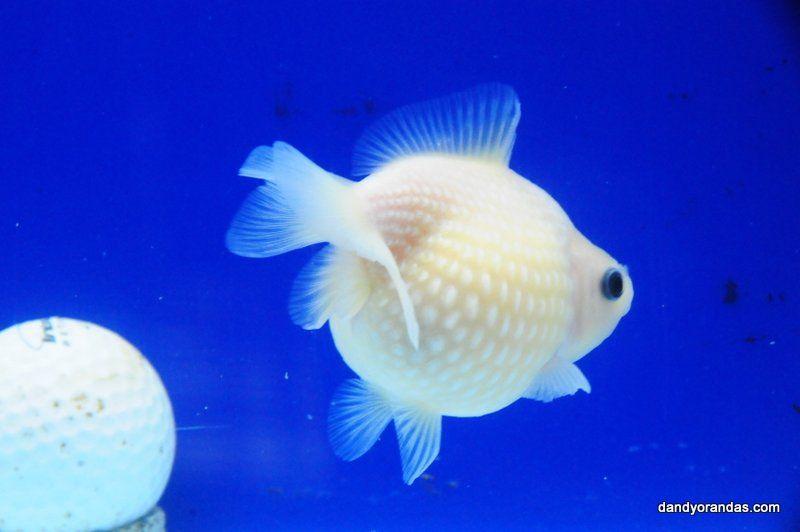 White Matt Golfball Pearlscale Dandyorandas Com Pet Fish
