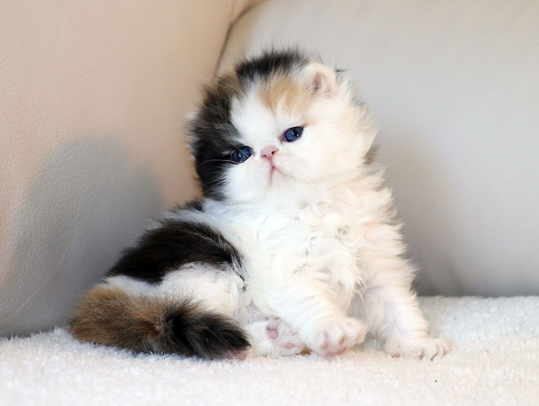 Alfenloch Bejeweled Calico Female Persian Kitten Persian Kittens Cute Cats And Kittens Baby Cats