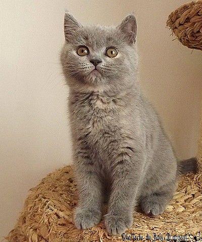 Kitten Blue British Shorthair Tortie Http Www