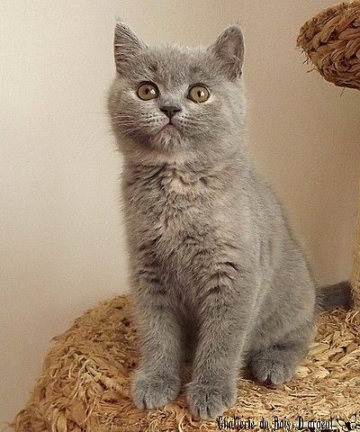 Kitten Blue British Shorthair Tortie Http Www Chatterieduboisdargent Com Galerie Fr Php Chats Gris Chat