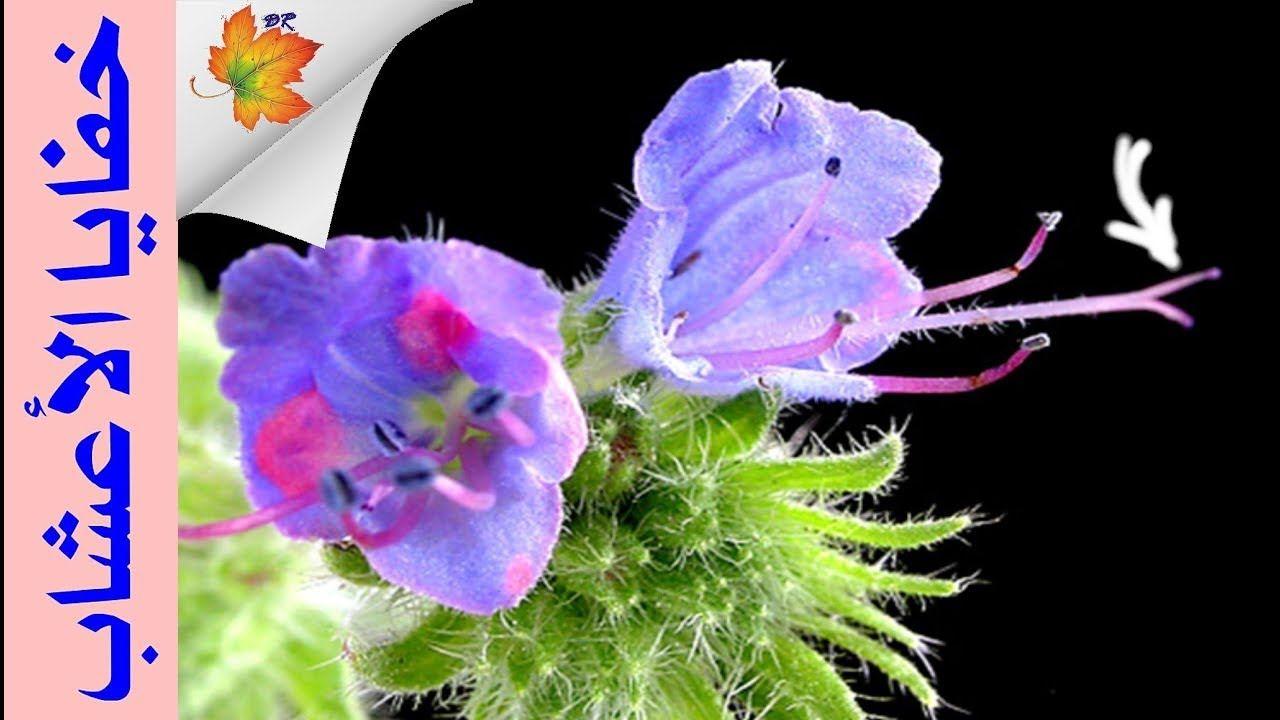 معلومات عن نبات الحسك Dietitian 4