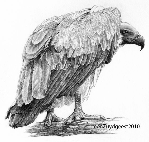 Vulture Head Drawing