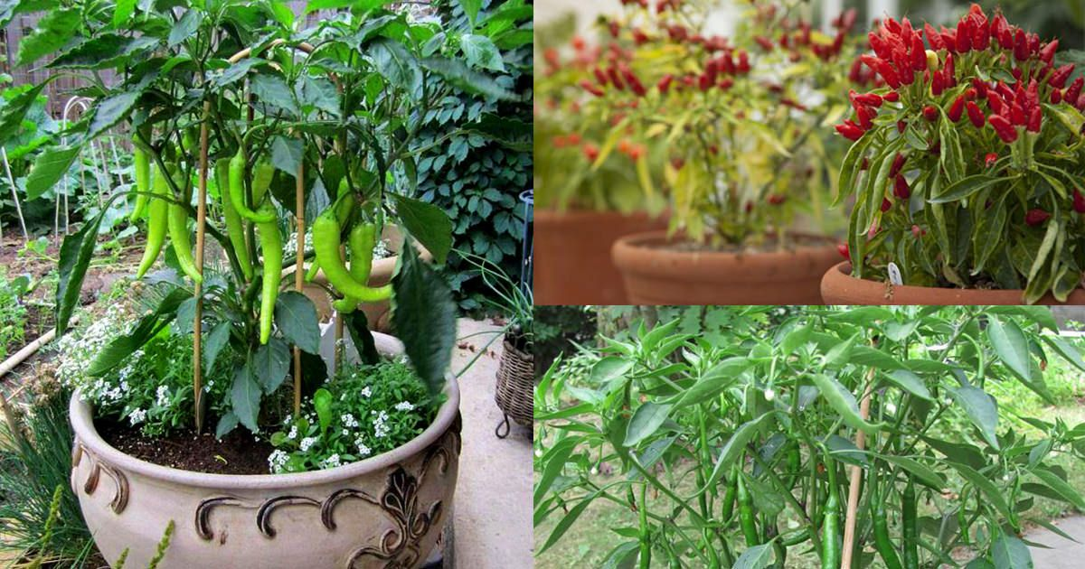 Growing hot peppers in containers growing vegetables in