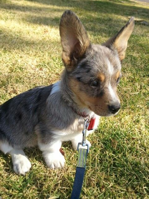 Pin By Jennifer Lauren Maeda On Animals Corgi Corgi Dog Cute Animals