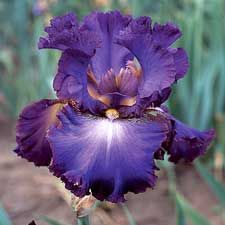 Tall bearded iris - Afternoon in Rio